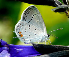 Eastern  tailed-Blue by duggiehoo