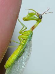 Zeugomantispa minuta......Green Mantisfly by duggiehoo