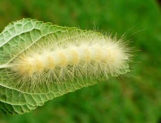 Spilosoma....maybe S. virginica by duggiehoo