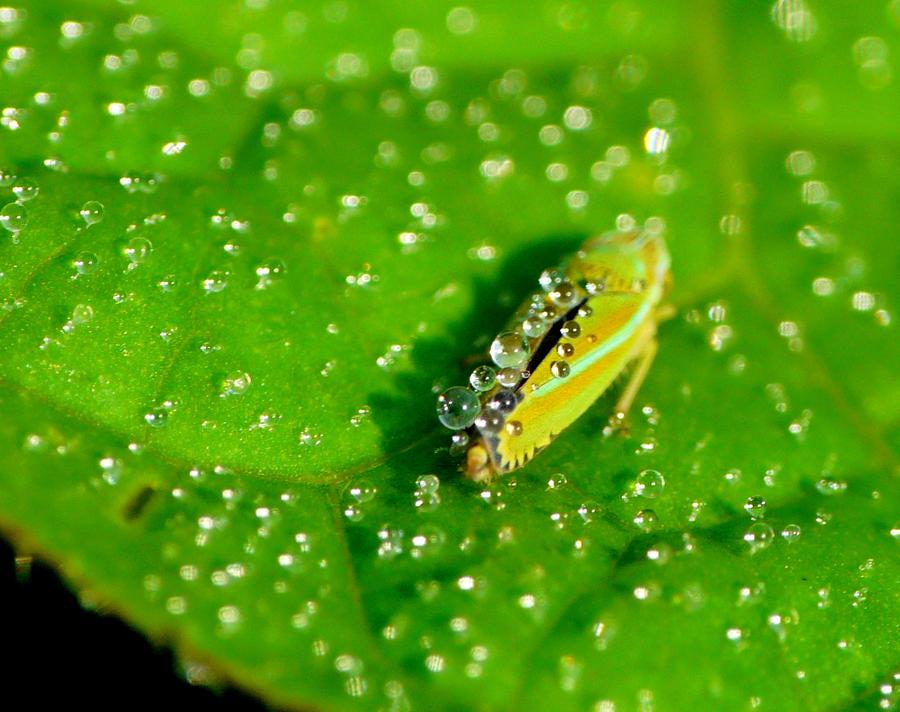 Dewy Leafhopper by duggiehoo