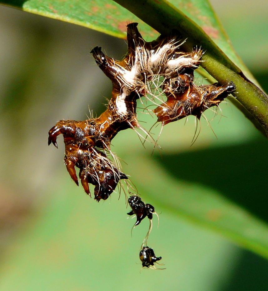 Harrisimemna trisignata larva by duggiehoo