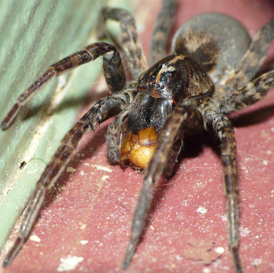 Lycosidae by duggiehoo