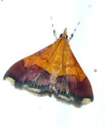 Bicolored Pyrausta by duggiehoo