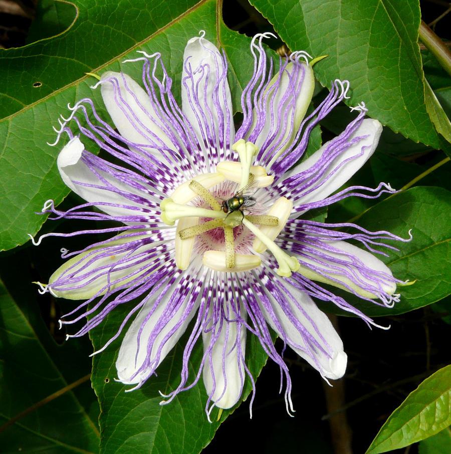 Passiflora incarnata by duggiehoo
