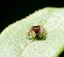 Salticidae....tiny