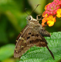 Long-tailed Skipper