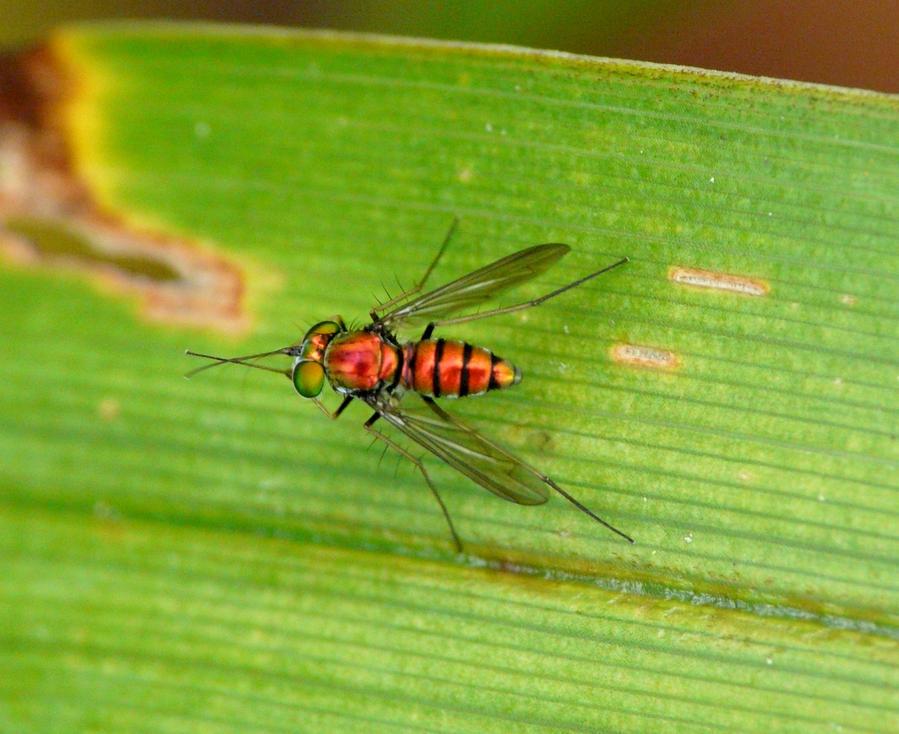Dolichopodidae by duggiehoo