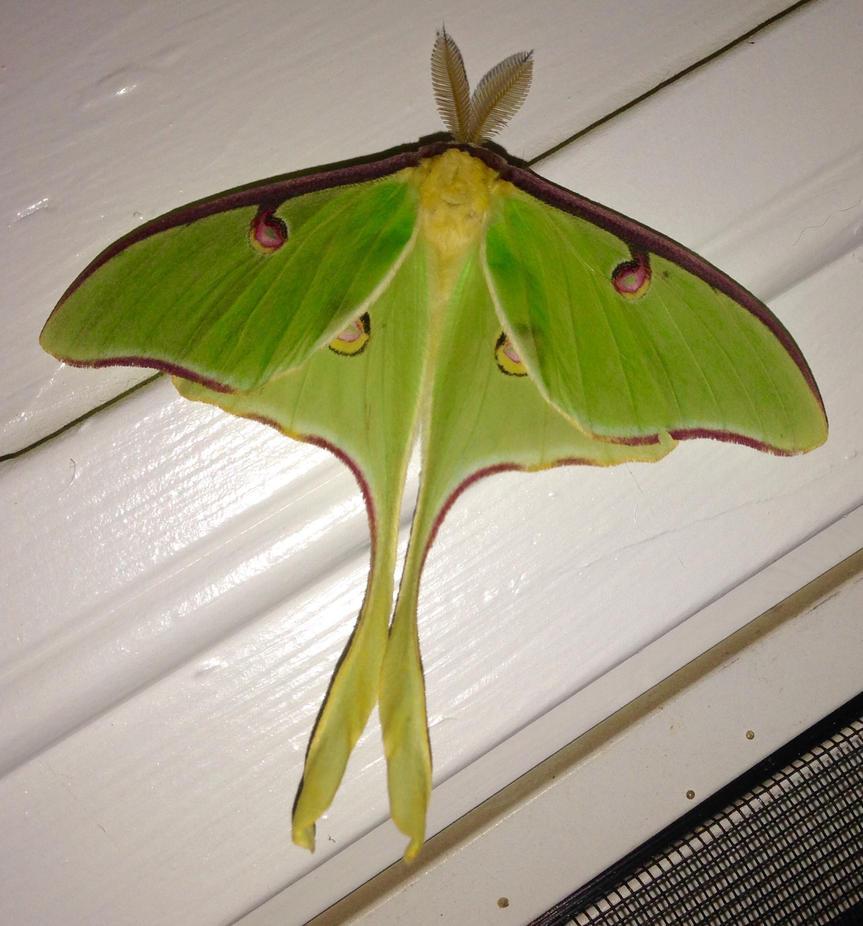 Luna moth by duggiehoo