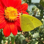 Cloudless Sulphur on Mexican Sunflower