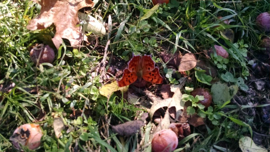 Orange Butterfly by Runihara