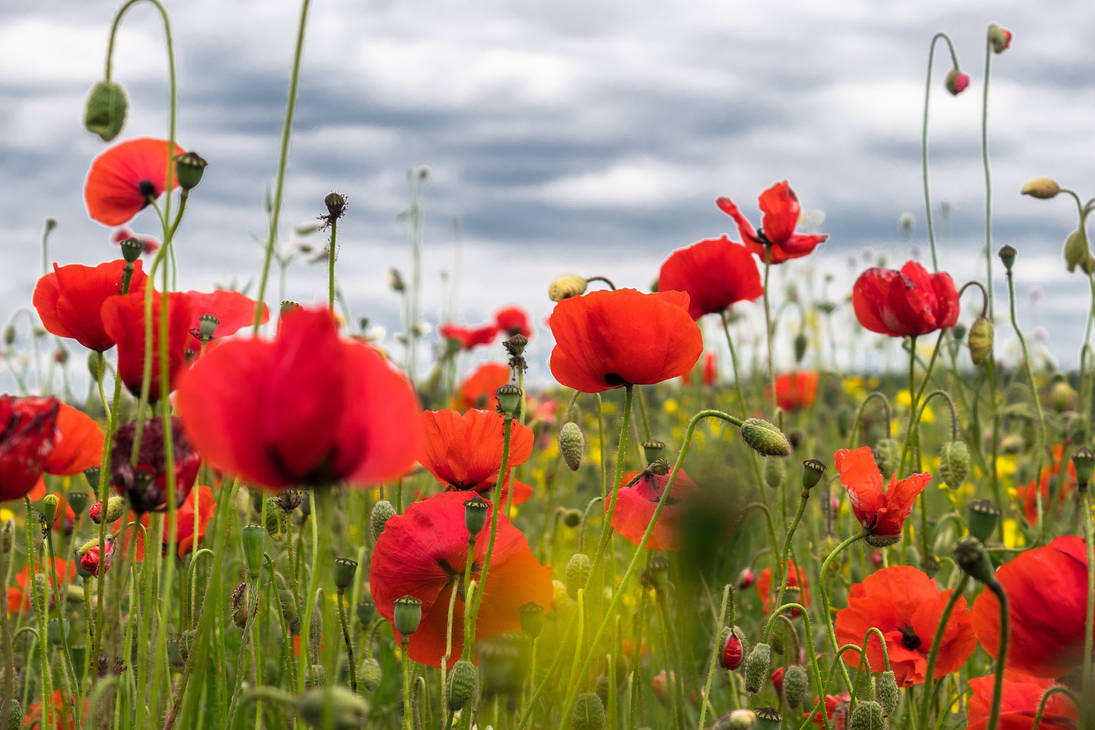 Poppy-flower-4246241 1920
