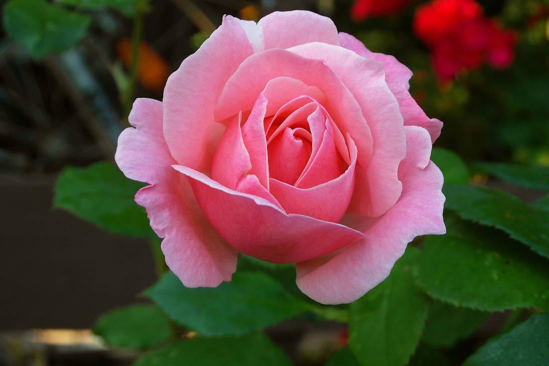 Rose-4121691 1920