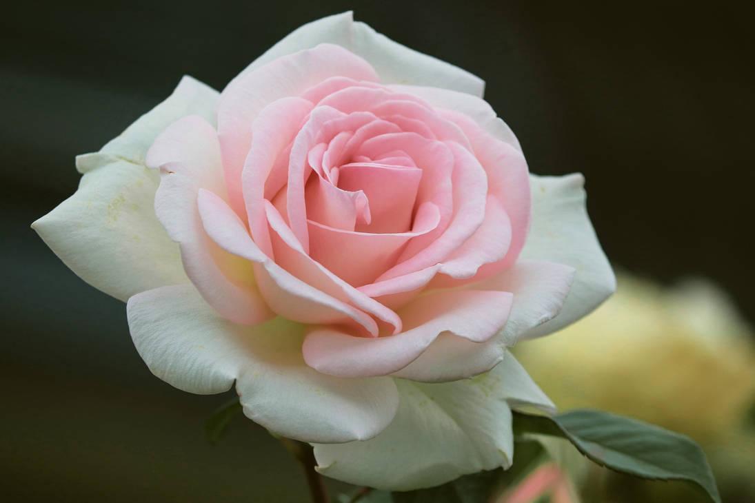 Rose-4523871 1920