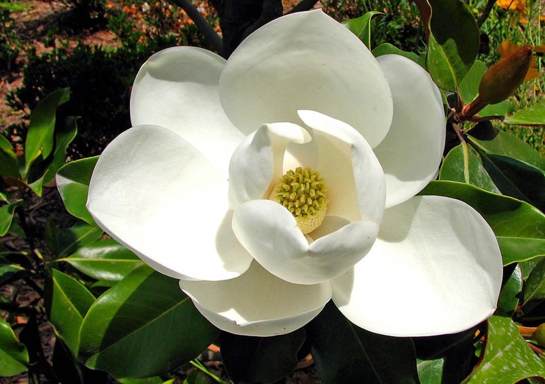 Magnolia-2691296 1920
