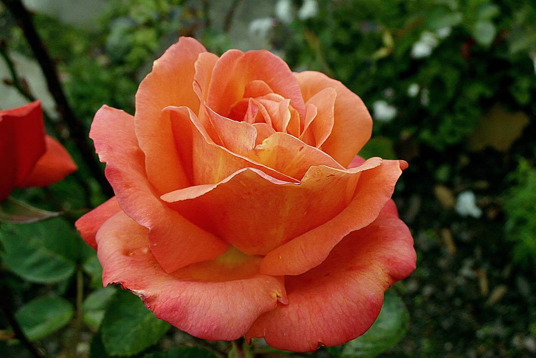 Rose-3949167 1920