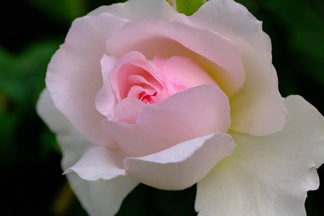 Rose-4291002 1920
