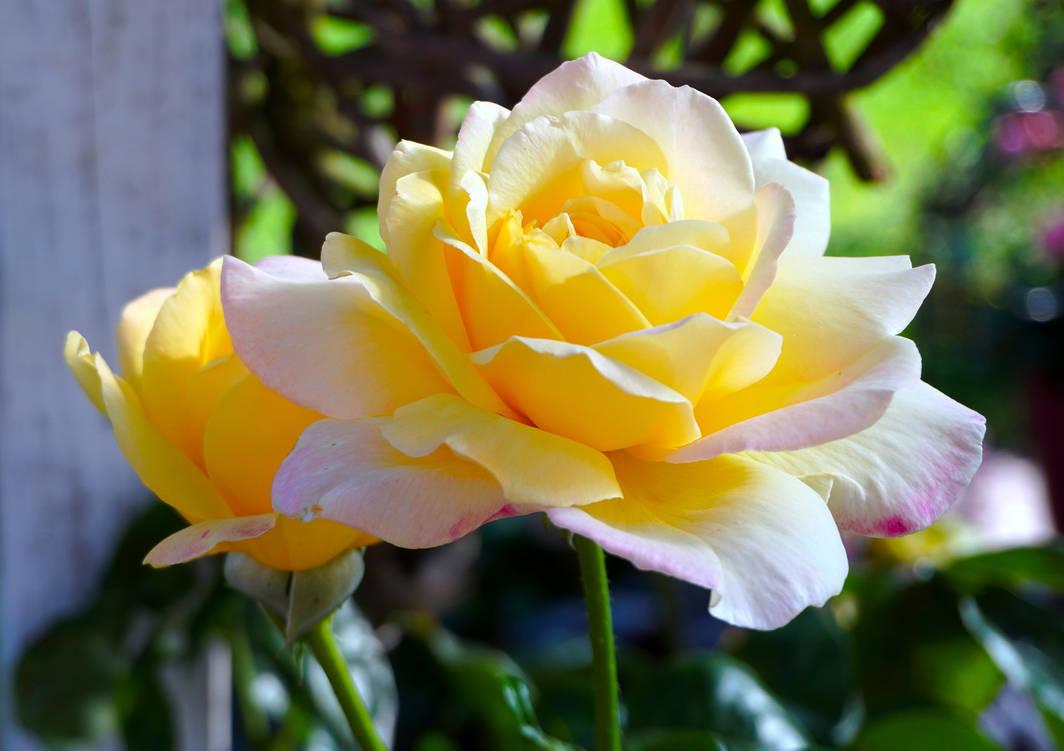 Rose-4399576 1920