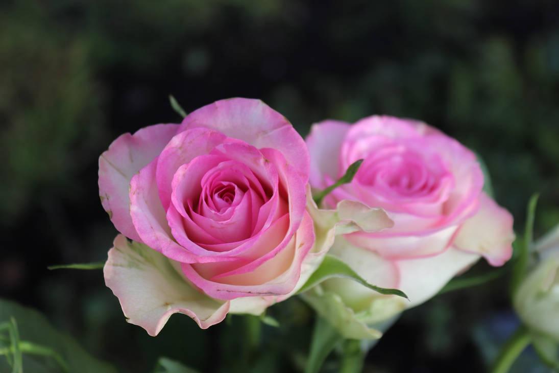 Rose-2973722 1920