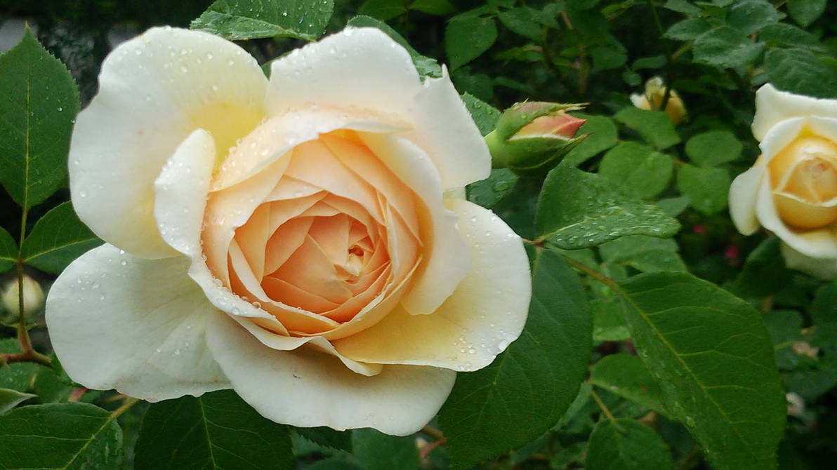 Rose-617467 1920
