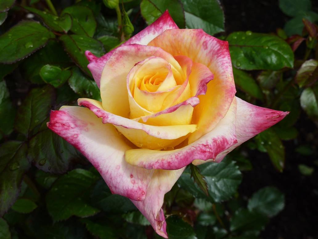 Rose-1223214 1920