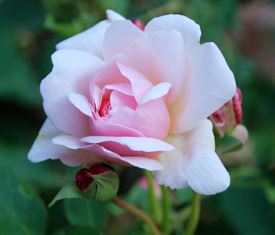 Rose-1370809-1279x1095