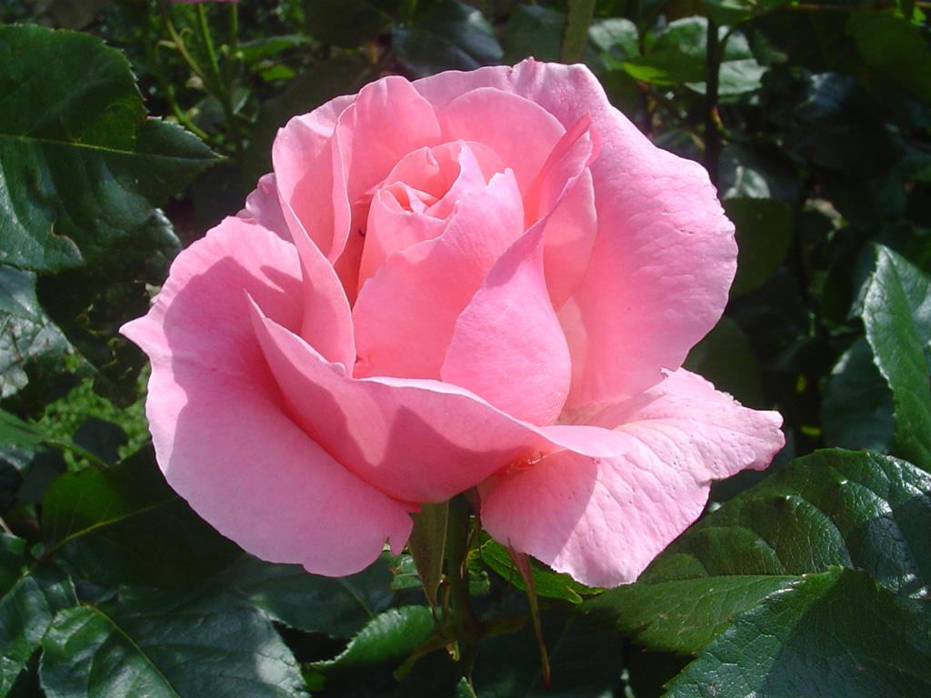 Rose-1383399