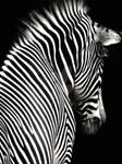 Zebra on Black by Elle-Arden