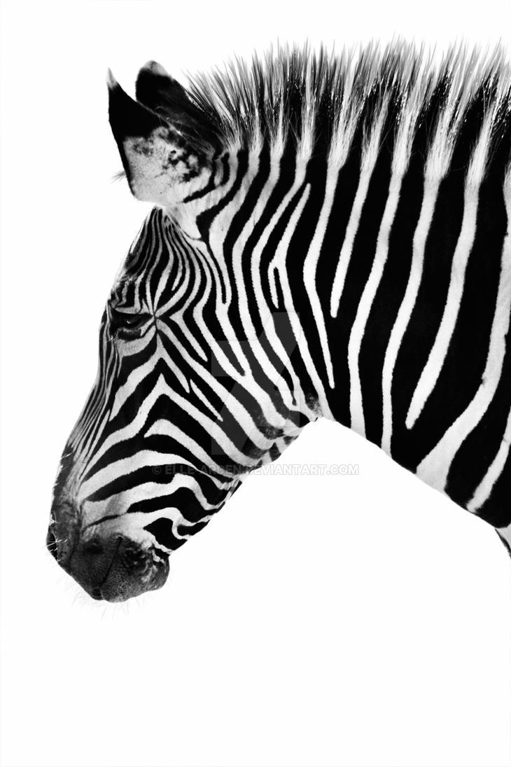 Zebra Portrait by Elle...