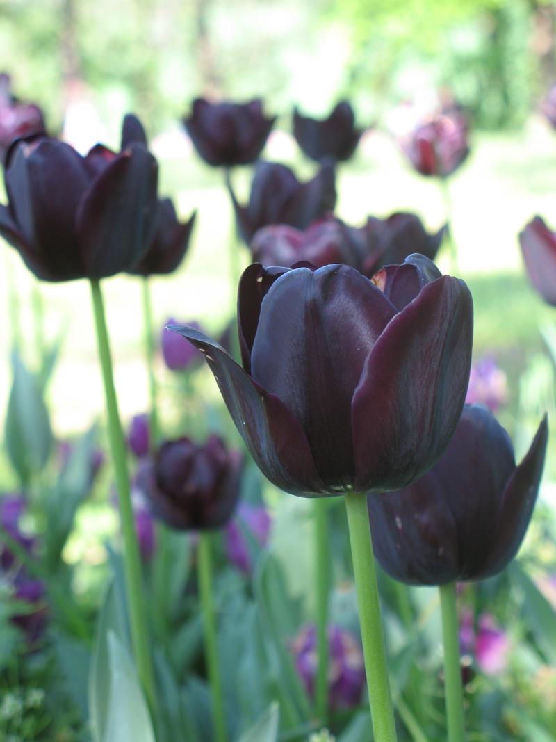 tulipani neri by lordvladmir on deviantart