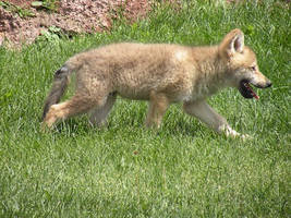 Wolf Pup 1 by MindlessStock