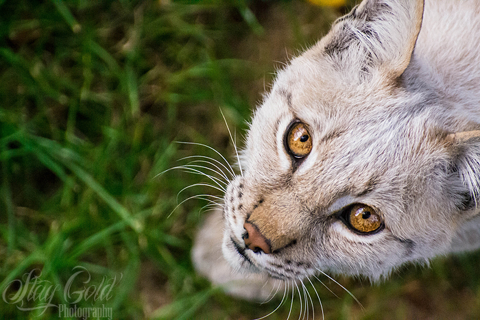 Lynx by staygold-photo