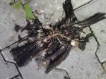 Dead blackbird by Dragea