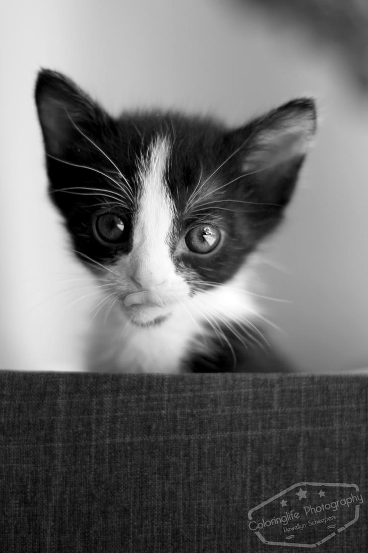Curious Kitten by LS-Coloringlife
