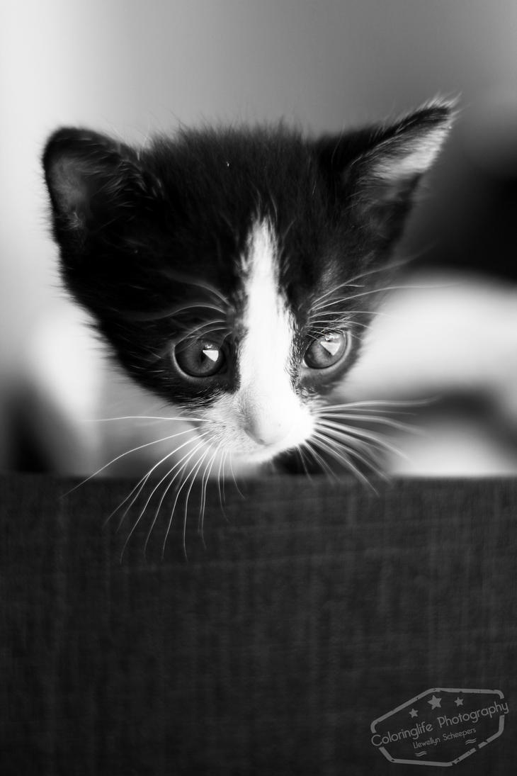 Curious Kitten II by LS-Coloringlife