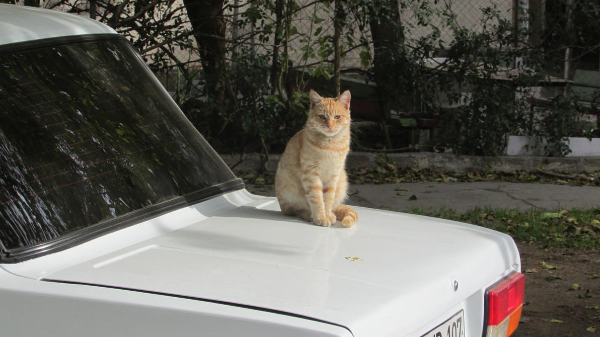 cat meow on car by Alivye