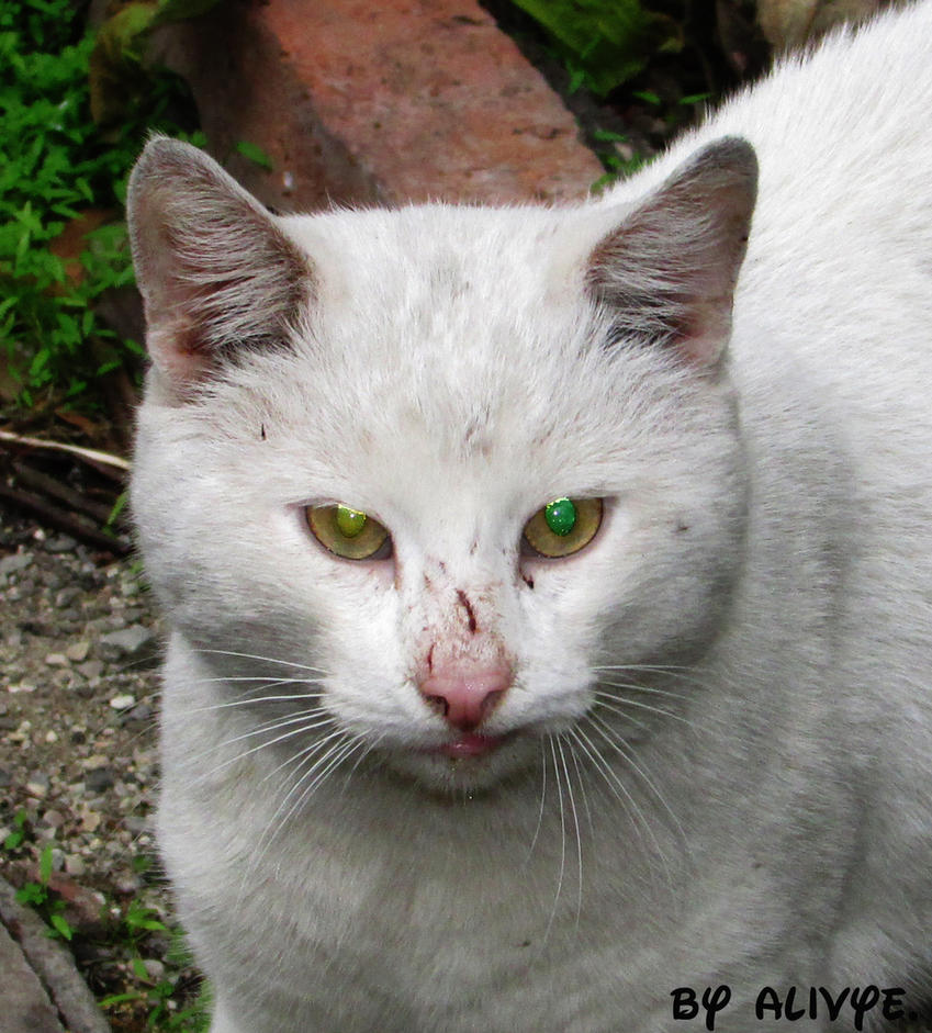 The street cat after fighting by Alivye