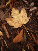 Maple leaf by yuushi01