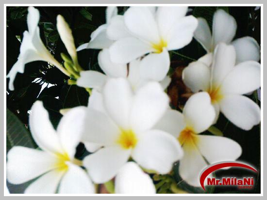 صاحب القلب الابيض White_Flowers_by_MrMilaNi.jpg