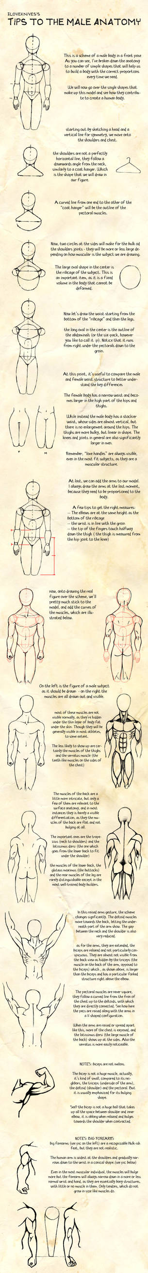 tips - male anatomy