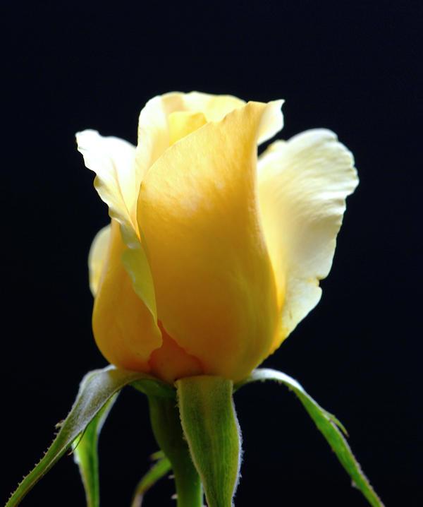 Yellow Rose.2008.2 by DaFotoGuy