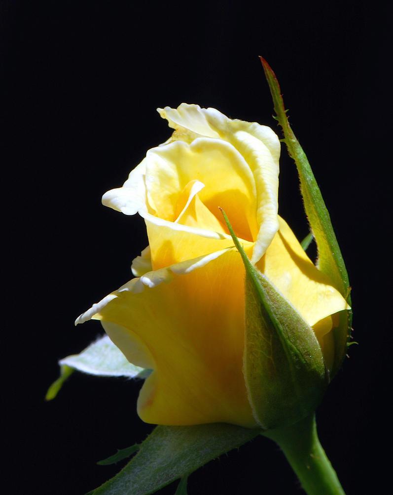 Yellow Rose Bud by DaFotoGuy