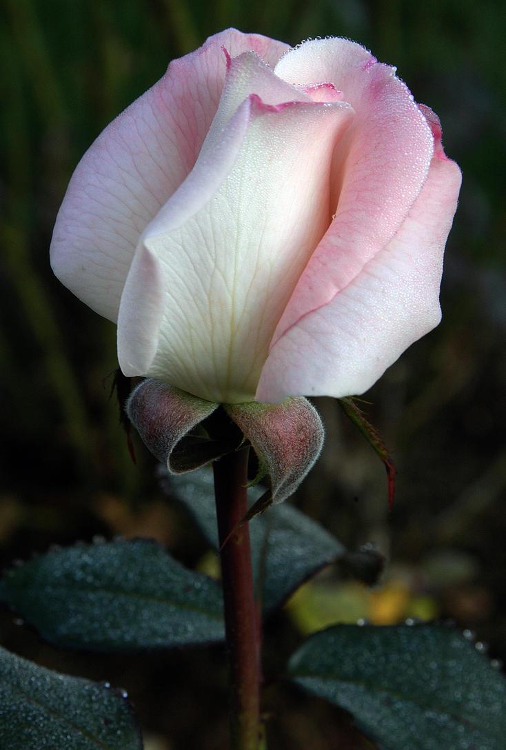 Pink_Dew_Rose by DaFotoGuy