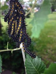 Mourning Cloak Caterpillars by cyborgparanoia