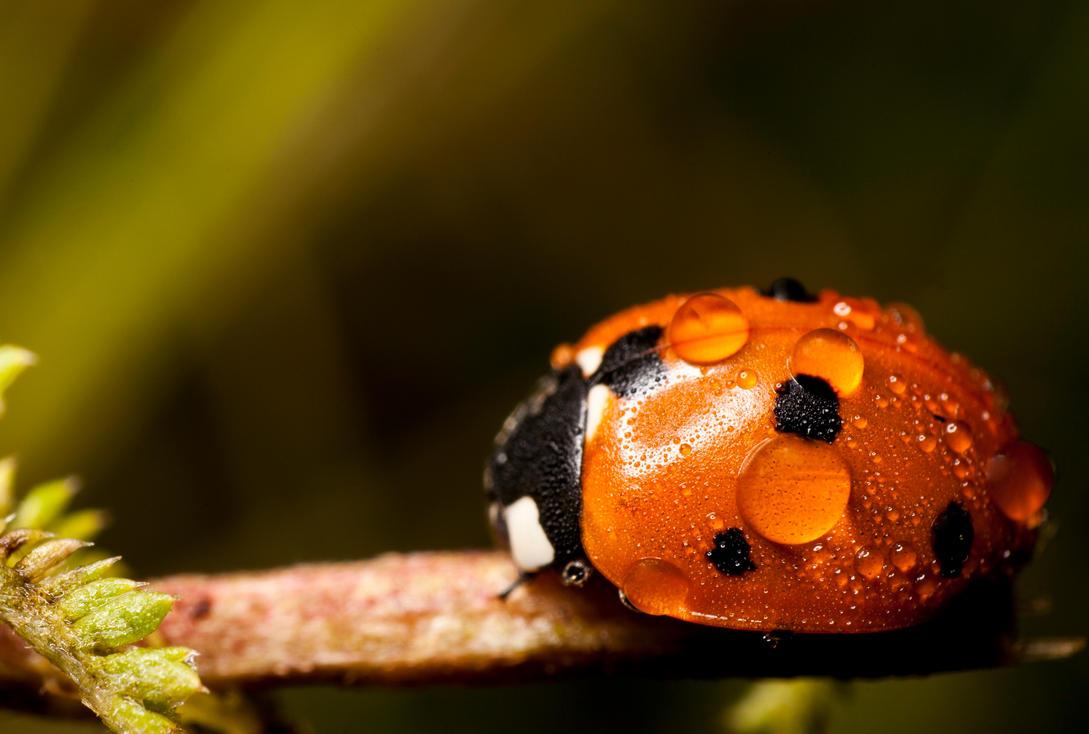 Ladybug by evirgen2008
