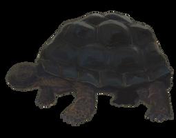 Tortoise Pic