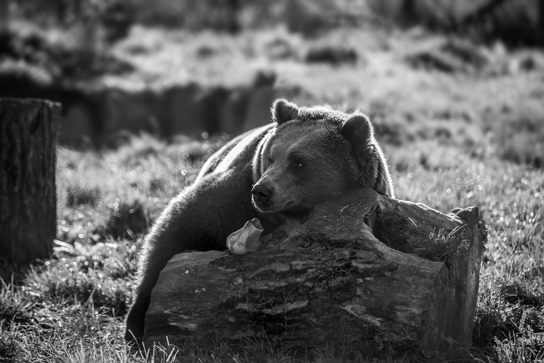 European Brown Bear by Profail
