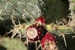 Wasp eating cactus pear