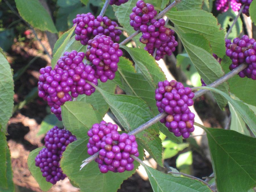 Purple Berries by nancy24601