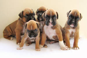 5 Boxer Babies