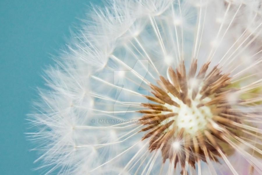 .dandelion. by emelia1502